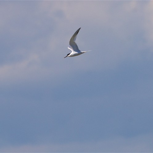 Sandwich tern sweeping through