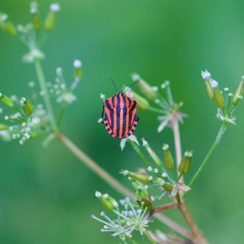 Striped shield bug