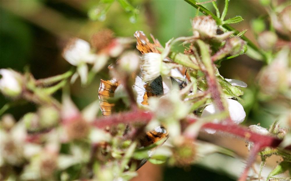 Denge weevils 2
