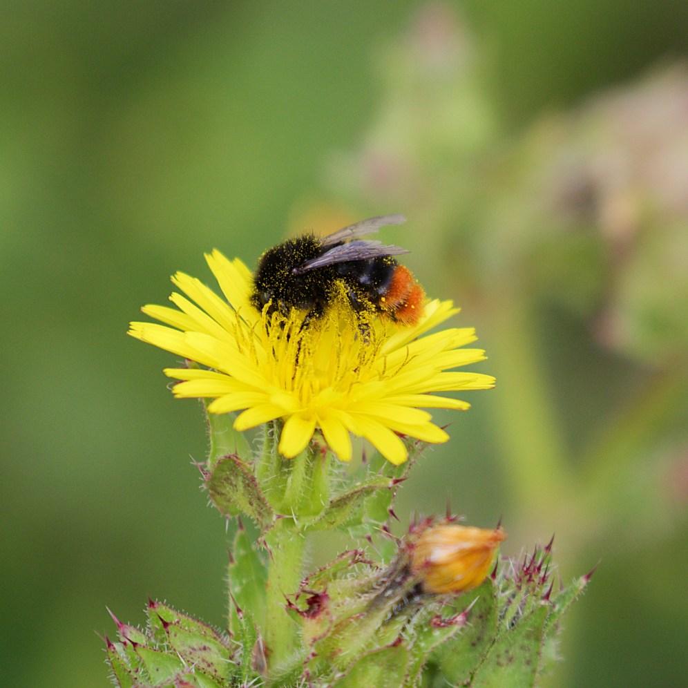 Orange-tailed bumblebee
