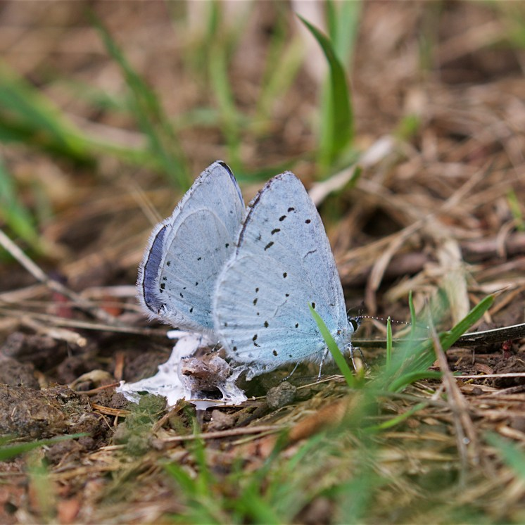 Two male holly blues on a bird dropping