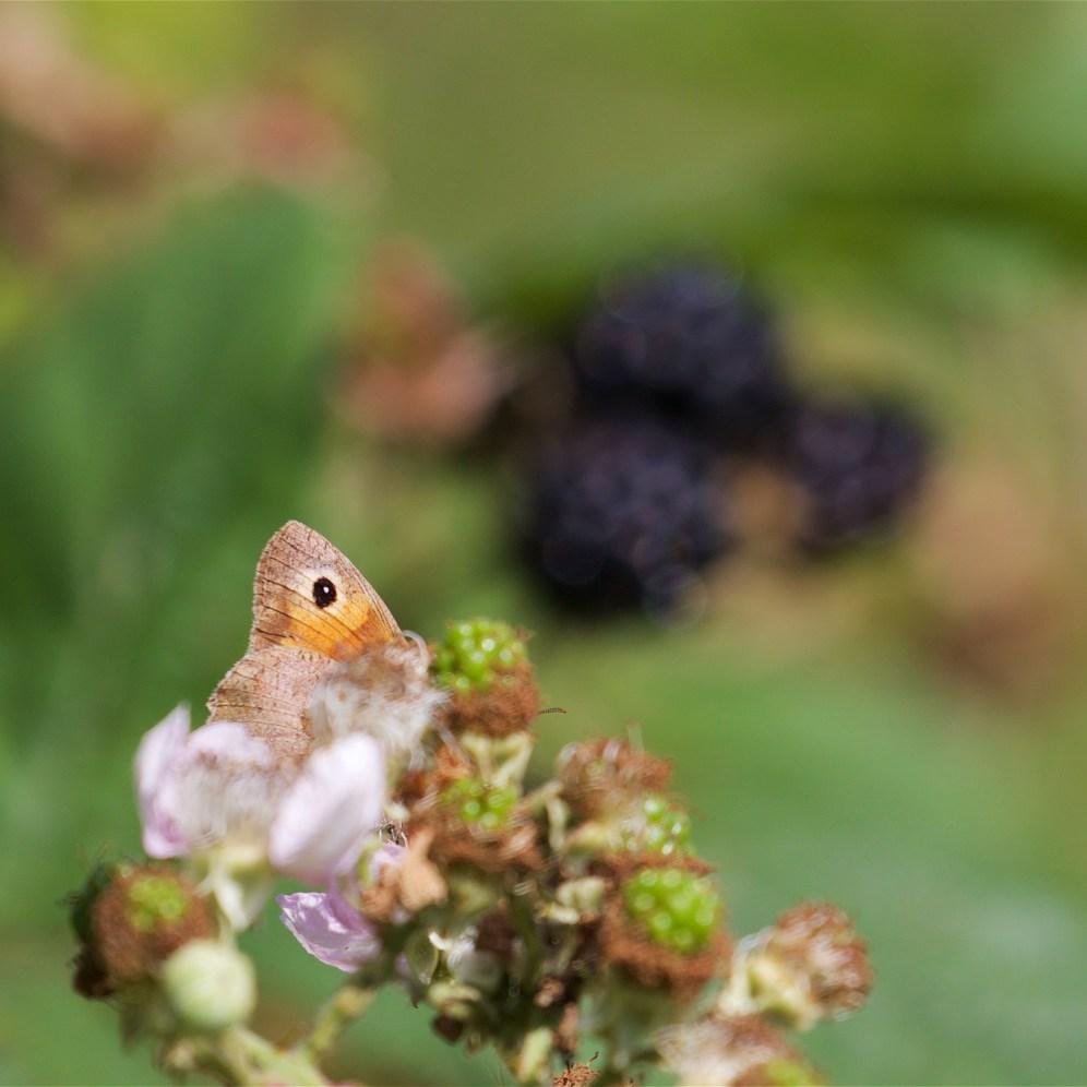 Meadow brown and blackberries