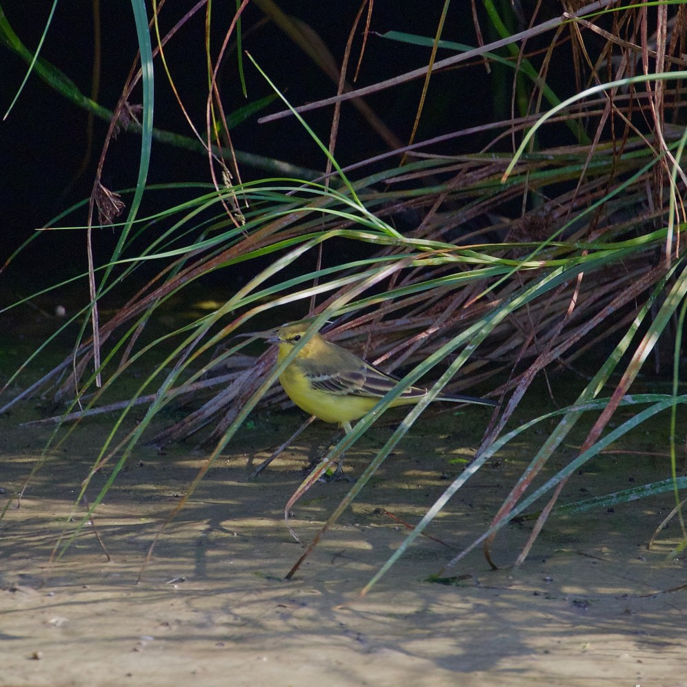 Foraging yellow wagtail