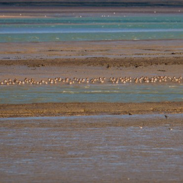 Low tide scene with a line of wigeon on the creek edge