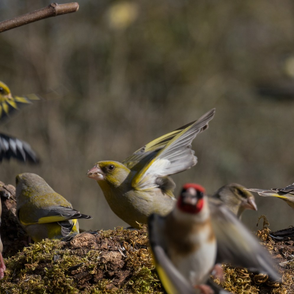 A male greenfinch briefly holds the centre