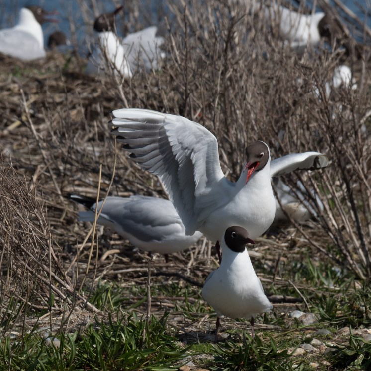 Black-headed gulls attempting to mate