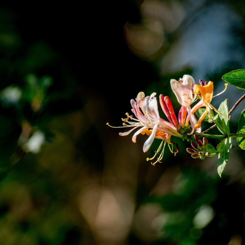 Honeysuckle flower