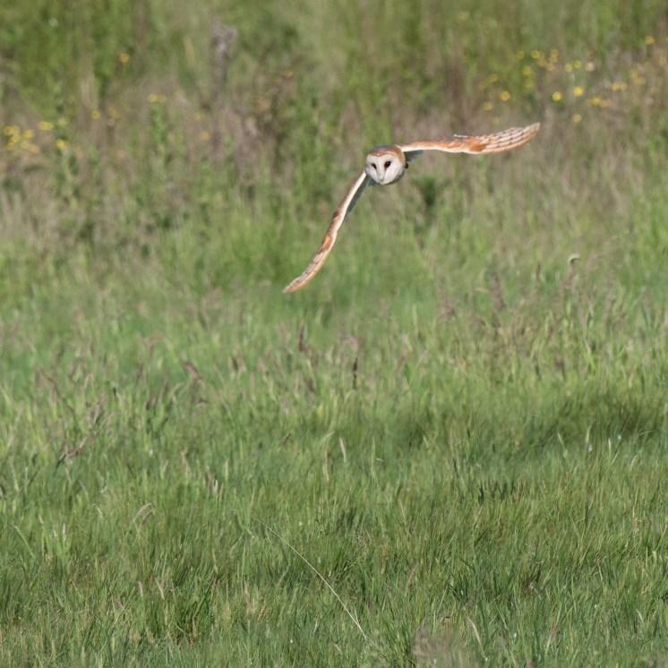 Hunting barn owl 1