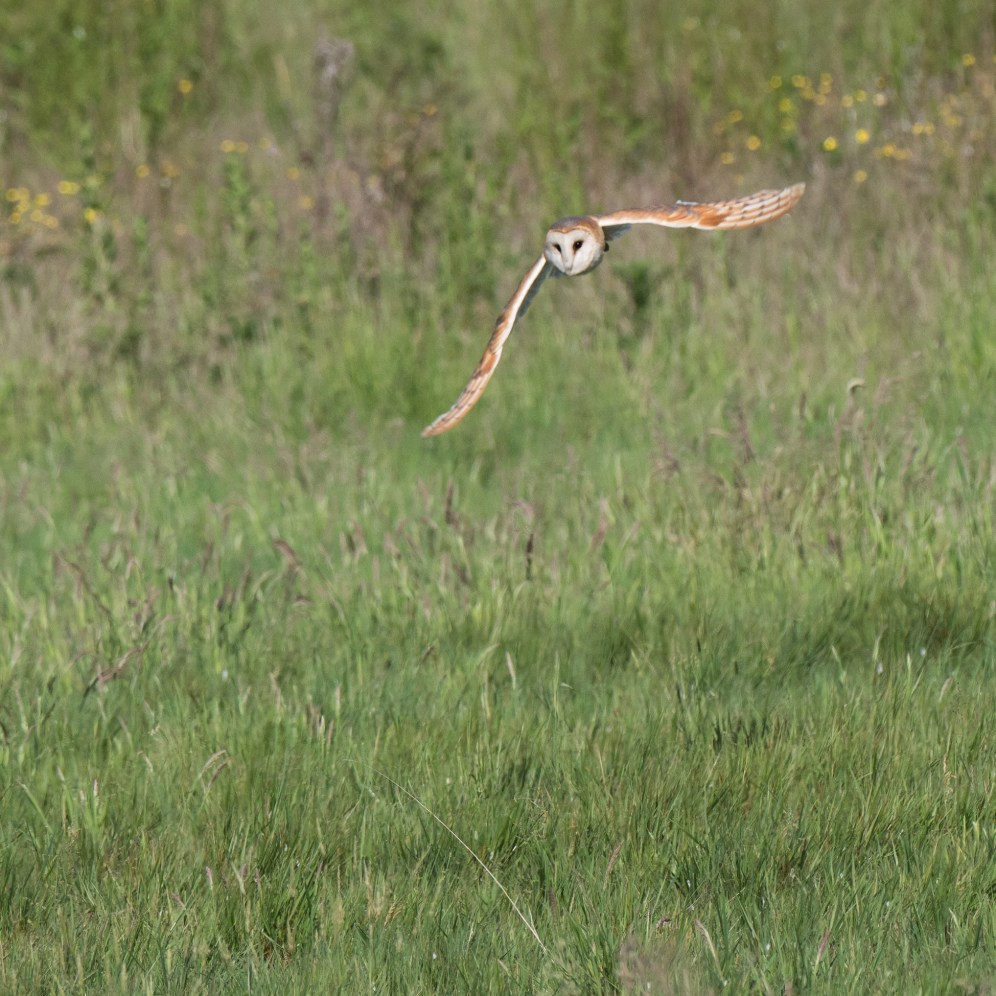 Hunting barn owl 1