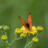Les Papillons de Bellon