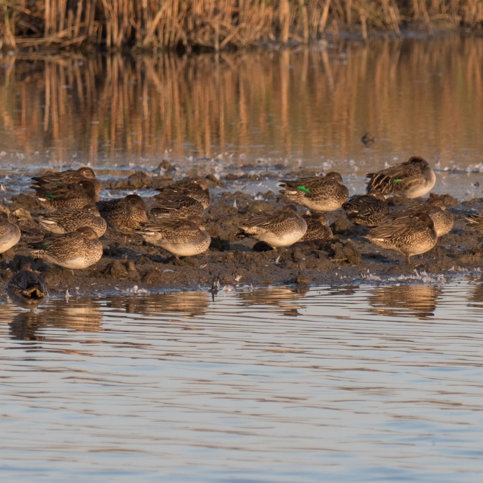 Roosting teal and feeding snipe