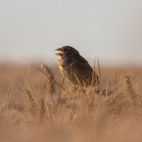 Corn buntings and the barley harvest