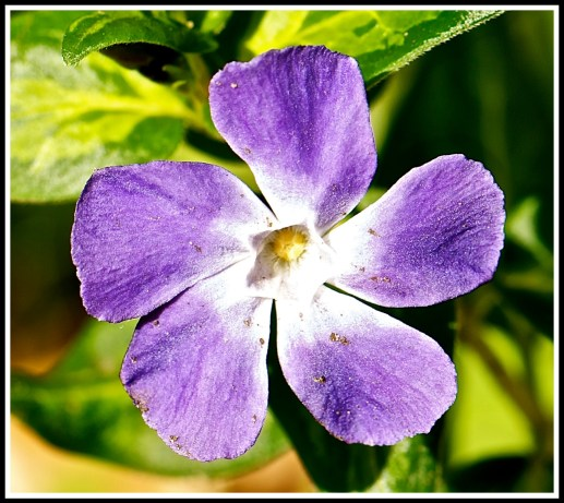 Blue flower from our garden