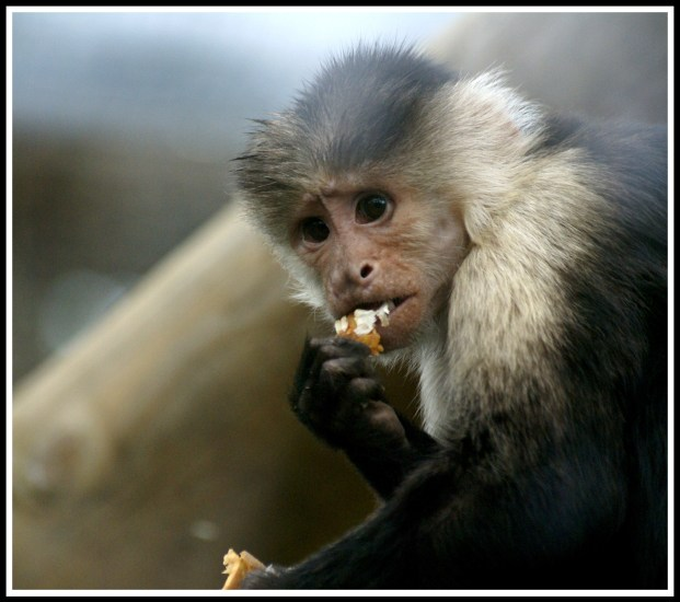 A photo of a monkey taking a bite from a nut whilst looking straight into the camera