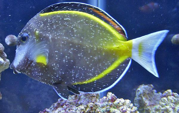 how to kill ich in saltwater tank