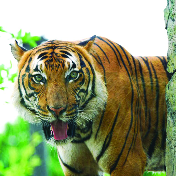 Zoo Knoxville Tiger Tests Positive for SARS-CoV-2 - One of Zoo Knoxville's Malayan tigers has tested positive for SARS-CoV-2, the same virus that causes COVID-19 in humans. #ZooKnoxville #KnoxvilleZoo #Tigers #COVID19