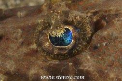 eye of crocodile fish