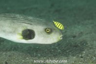 pilot fish and putter fish