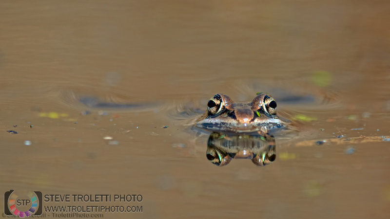 It's Spring and the Wood Frogs are finally singing
