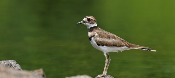 Killdeer Photos added to the Gallery