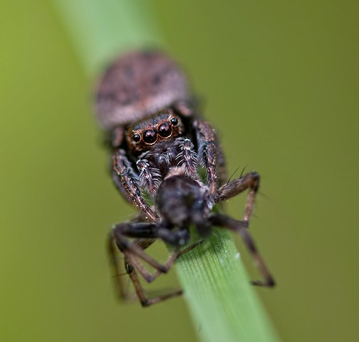 Jumping Spiders, Too Cute!