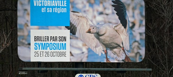 Snow Geese in Fall Migration – Réservoir Beaudet, Victoriaville