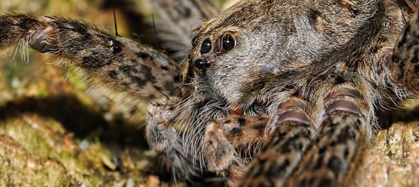 Le paradis des araignées géantes — Dolomedes tenebrosus