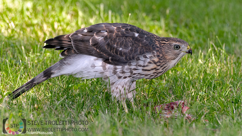 Juvenile Cooper's Hawks are out of the nest – video