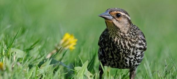 Nesting Red-winged Blackbirds