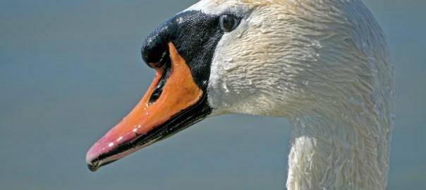 Mute Swans on lac Neuchatel in Switzerland