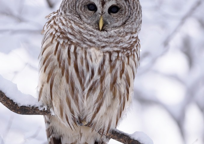 Crows harassing and attacking a Barred Owl – VIDEO