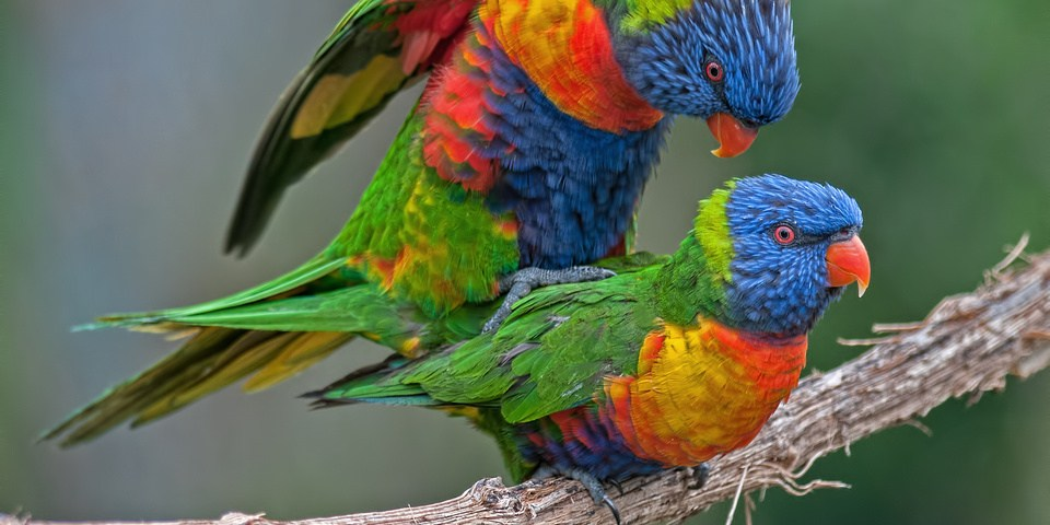 Rainbow Lorikeets mating on a vine added to the Photo Gallery