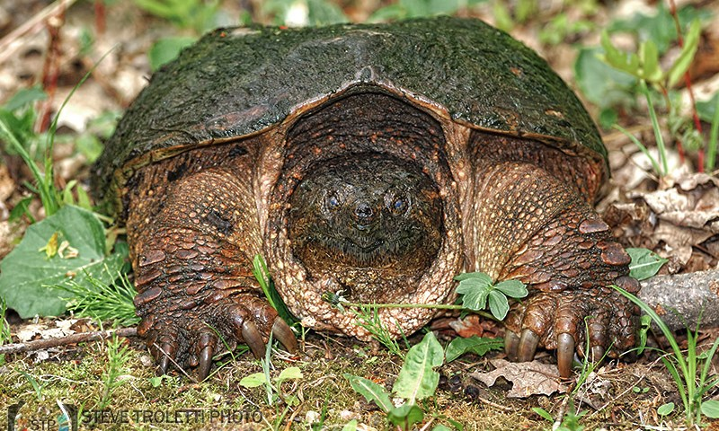 Common Snapping Turtle / Tortue serpentine (Chelydra serpentina)