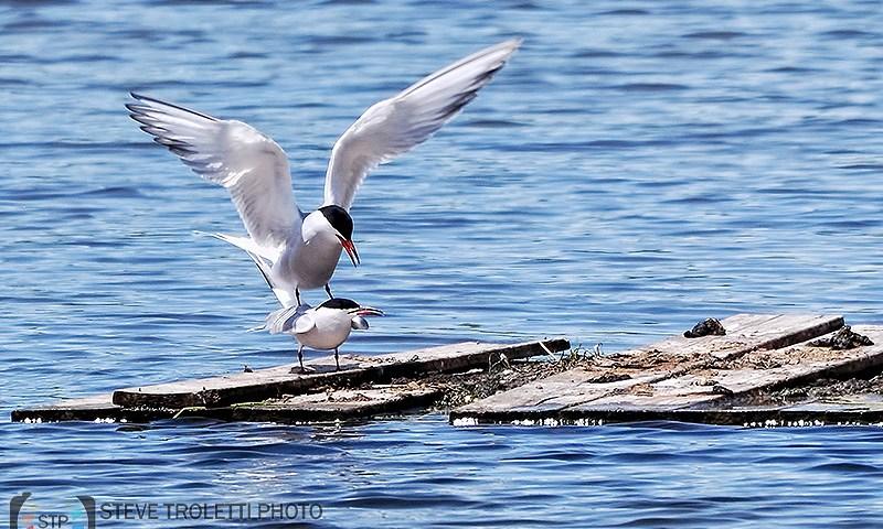 Common Tern Mating / Accouplement de Sterne pierregarin