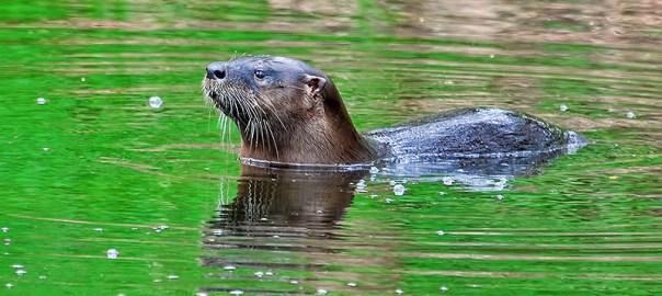 North American River Otter / Loutre de rivière