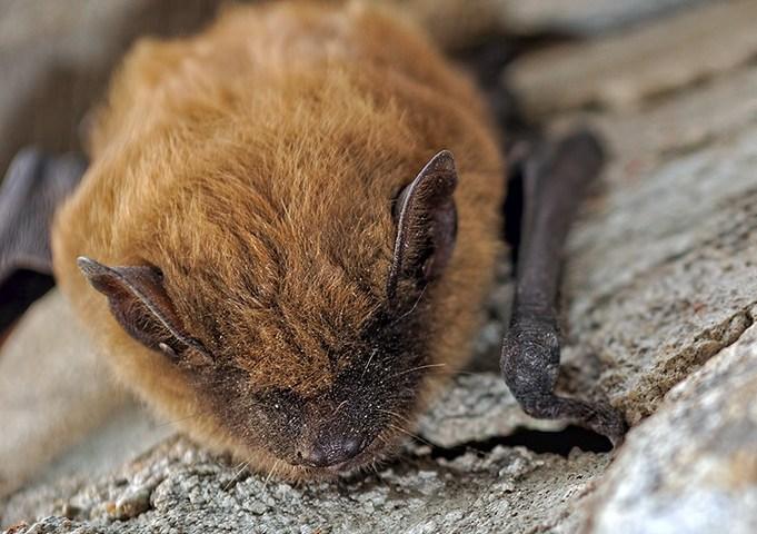Little brown bat – Myotis lucifugus