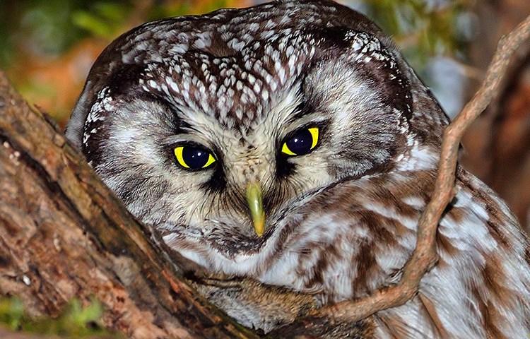 Boreal Owl / Nyctale de Tengmalm