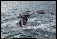 Iceland :: Whale