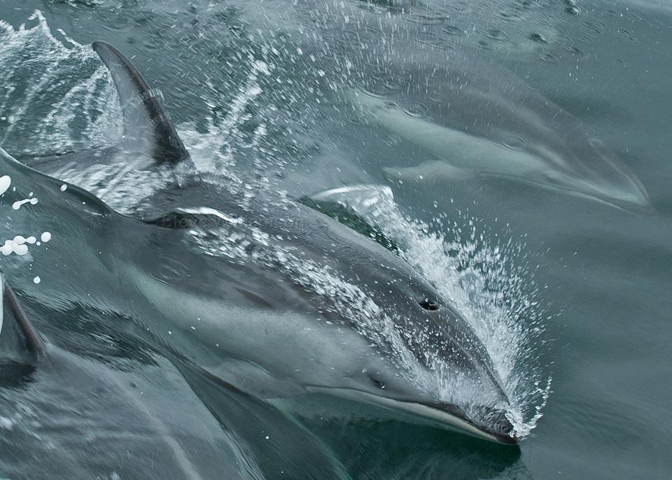 Racing-Dolphin.jpg