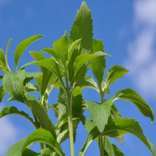 What is stevia plant