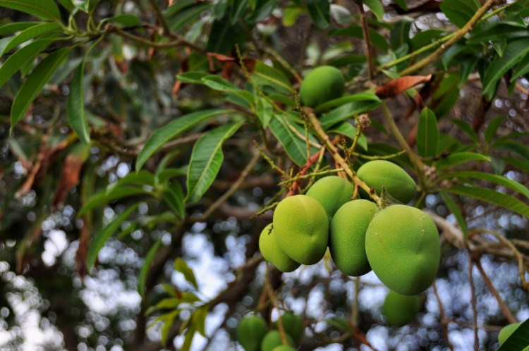photo of mangoes on providencia