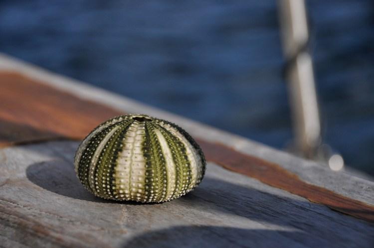 Photo of a sea urchin skeleton in Cuba