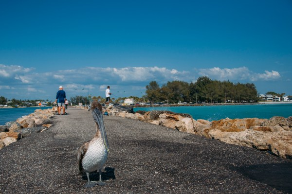 Photo of a brown pelican in Venice florida