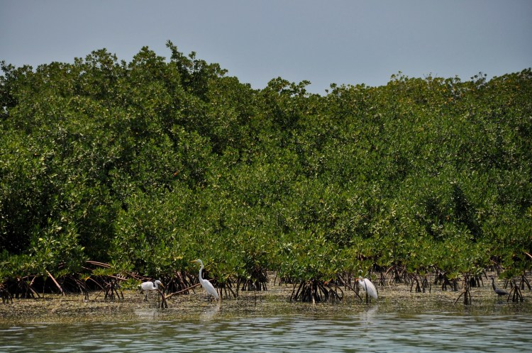Photo of birds in the mangroves in Cayo Largo, Cuba