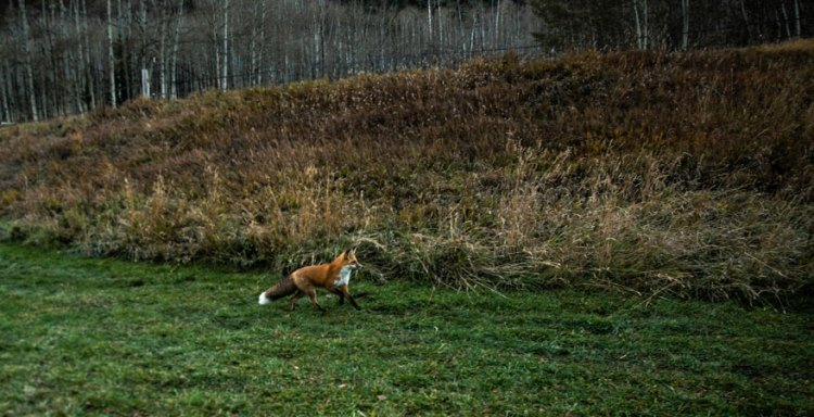 photo of a fox in aspen colorado