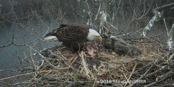 Trio Bald Eagle Nest Cam -Off Line | Stewards of the Upper