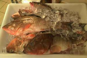 Fresh Red Grouper