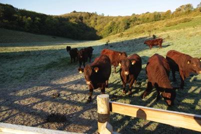 cattle on grassland