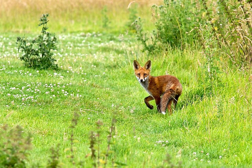 Fox in Mill Meadow