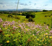 view of wildflowers on the downland in summer